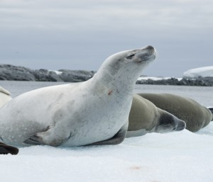 Group crabeater seals.